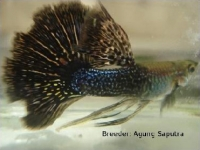 World Guppy Contest 2011